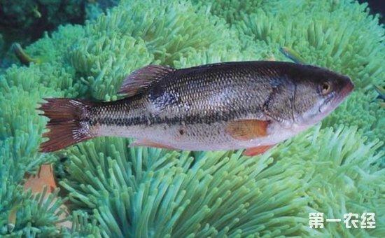 鲈鱼怎么养?鲈鱼的池塘和网箱养殖技术