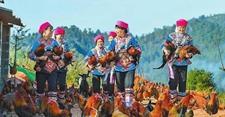 省级贫困村婀娜村养鸡脱贫年销售额90多万