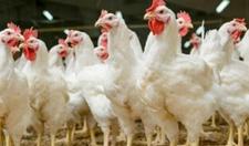 白羽肉鸡30天的环境管理