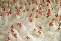肉鸡喂养预混料中会碰到什么问题?