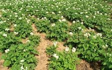 马铃薯种植怎么施肥?马铃薯的施肥用量和方法介绍!
