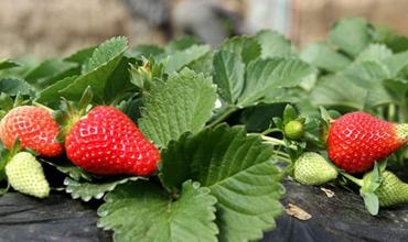 草莓怎么种植才好?草莓的种植条件和种植技术