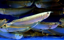 <b>银龙鱼养殖该怎么管理?银龙鱼的养殖管理要点</b>