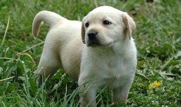 拉布拉多犬怎么训练?拉布拉多犬的训练方法和注意事项