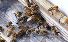 春季蜜蜂养殖该如何管理?蜜蜂养殖的春季管理要点