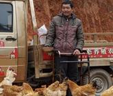 茶陵县瘫痪养鸡 靠养鸡带来的好日子