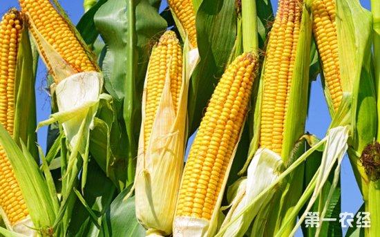 墨西哥加大进口巴西玉米 以求降低对美国玉米的依赖
