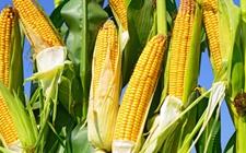 <b>墨西哥加大进口巴西玉米 以求降低对美国玉米的依赖</b>