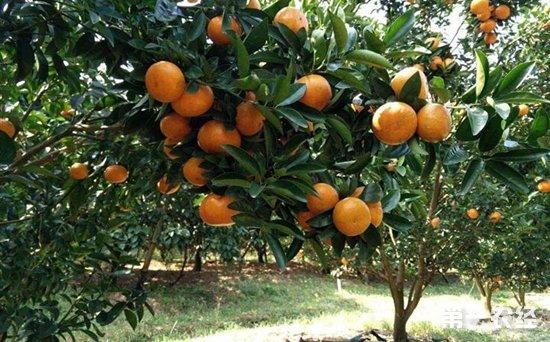 今日柑橘价格行情如何?广西多地柑橘价格行情分析