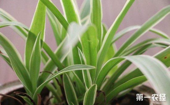 6种具有良好净化空气效果的盆栽植物介绍!有效吸收空气中的有害物质