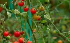 圣女果怎么种植?圣女果的播种育苗方法和种植管理要点