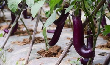 茄子种植怎么播种?茄子的播种方法和田间管理要点