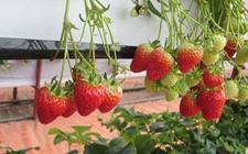 草莓种植怎么进行无土栽培?无土栽培草莓的技术要点