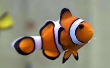 <b>小丑鱼适合与什么鱼混养?小丑鱼怎么养最好?</b>