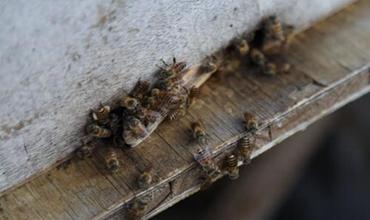 中华蜜蜂养殖怎么管理?中蜂的四季管理方法