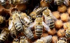 中华蜜蜂雄蜂该如何饲养?中蜂雄蜂的饲养管理要点