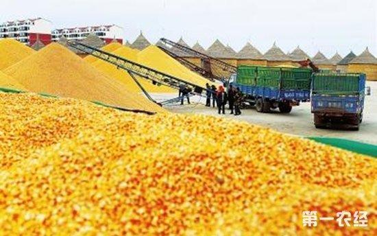 春节后玉米购销情况及价格行情走势分析