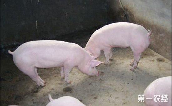 二元猪品种好还是三元猪品种好?