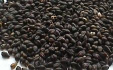 四川凉山特产:凉山苦荞麦