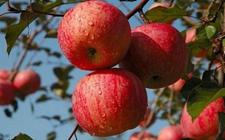 山西运城特产:芮城苹果