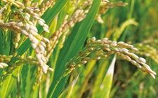 研究人员发现关键基因 有望让水稻既优质又高产
