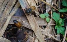 <b>蜜蜂染上螺原体病怎么办?蜜蜂螺原体病的病因与防治</b>