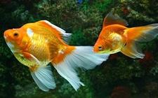 金鱼肠炎病怎么防治?金鱼肠炎病的治疗方法