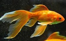 金鱼怎么繁殖?金鱼的繁殖方法和育苗技术