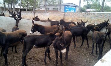 肉驴怎么养?肉驴的养殖技巧和注意事项