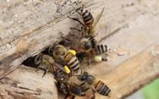 中华蜜蜂养殖怎么换王?中蜂换王的时间和方法