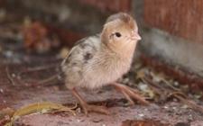 鹌鹑蛋怎么孵化?鹌鹑养殖的孵化方法介绍