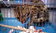 <b>云南惊现稀有豹猫偷吃十几只鸡被抓获</b>
