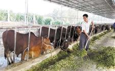 重庆丰都朱刚泉:养牛创业带动千家农户