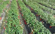 辽宁东港:大棚种植草莓成农民致富好项目