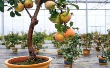 花盆种植特色水果 移动果园效益高