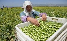 宁夏固原姚磨村:种植冷凉蔬菜成农民脱贫致富好项目