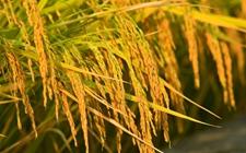 """科学家发现控制水稻重金属镉积累新机制 有助防控""""镉大米"""""""