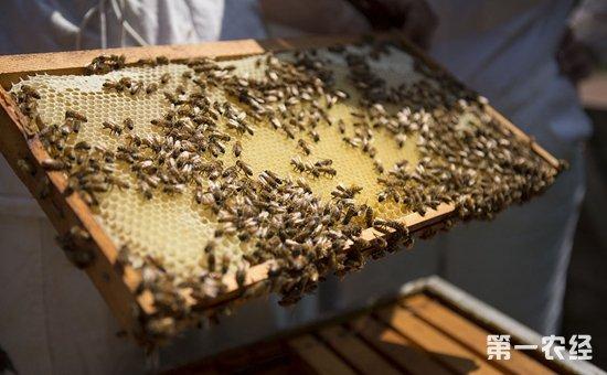 蜜蜂染上疾病怎么办?蜜蜂常见疾病的规律与防治