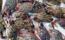 <b>梭子蟹怎么养才好?梭子蟹的养殖准备和养殖管理介绍</b>