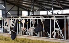 奶牛养殖该如何管理?奶牛的饲喂技术和养殖管理