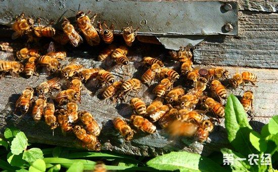 春季蜜蜂怎么繁殖?蜜蜂的春繁技术介绍