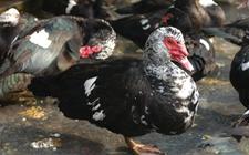 种番鸭产蛋期怎么养?番鸭种鸭产蛋期的饲养管理要点