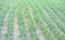 河南小麦逐渐进入返青期 看苗施策奠定丰收基础