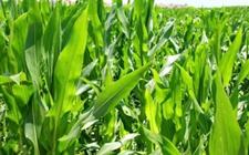 调控植物发育的协同作用新机制被发现 或将为农业生产带来重要改变