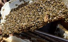 <b>春季中华蜜蜂养殖怎么管理?春季中蜂蜂群的饲养管理要点</b>