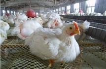 商务部:终止对美国进口白羽肉鸡产品征收双反税