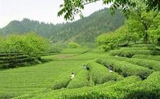 """衢州:大黄山里""""两茶""""促振兴"""