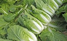 日本蔬菜收成不好价格暴涨 一男子偷160棵大白菜被捕