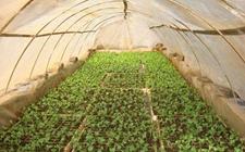新疆和硕人勤春来早 菜农忙种小拱棚蔬菜