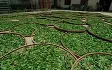 广东惠州:千年茶韵魅力依旧!